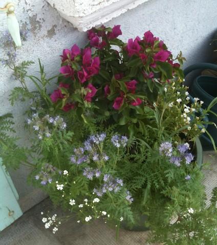 Photos de nos jardins - Page 2 Bougai10