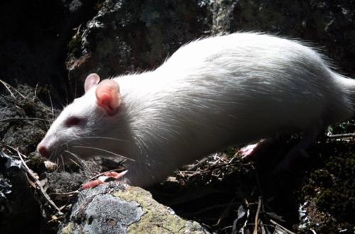 Albino Rat Whiter10