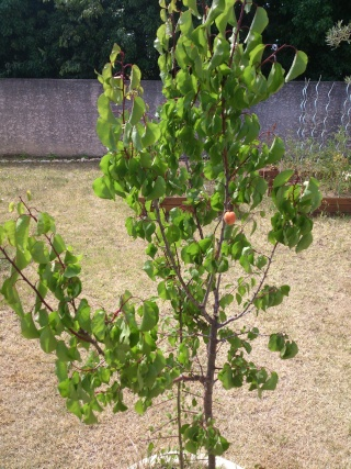Prunus armeniaca - abricotier Dead_c10