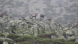 Ibex de gredos Espagne... Beceit10
