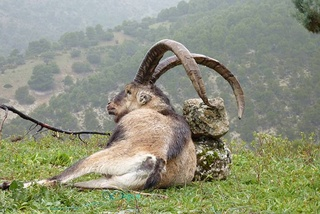 Ibex de gredos Espagne... Bouque17