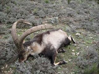 Ibex de gredos Espagne... Bouque18