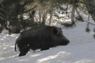 Enorme Sanglier dans la neige profonde..... Sangli11
