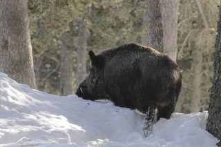 Enorme Sanglier dans la neige profonde..... Sangli13