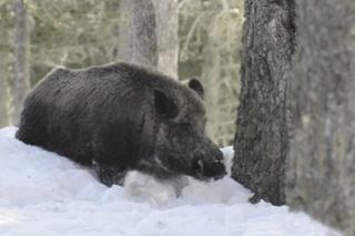 Enorme Sanglier dans la neige profonde..... Sangli15