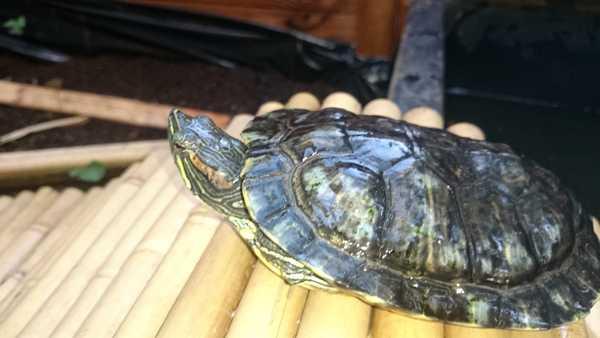Les tortues de Luc Dsc_0111