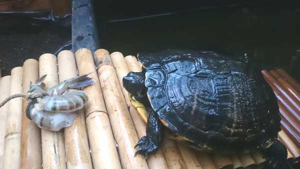 Les tortues de Luc Dsc_0112