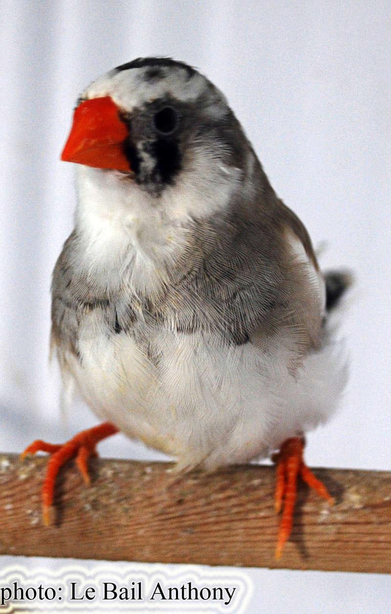Mâle blanc X femelle gris panaché Femell18
