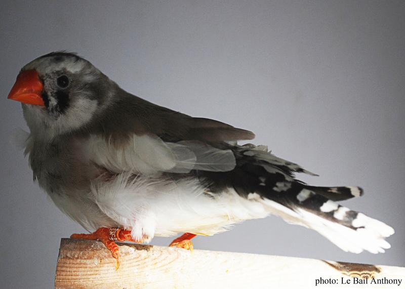 Mâle blanc X femelle gris panaché Femell21