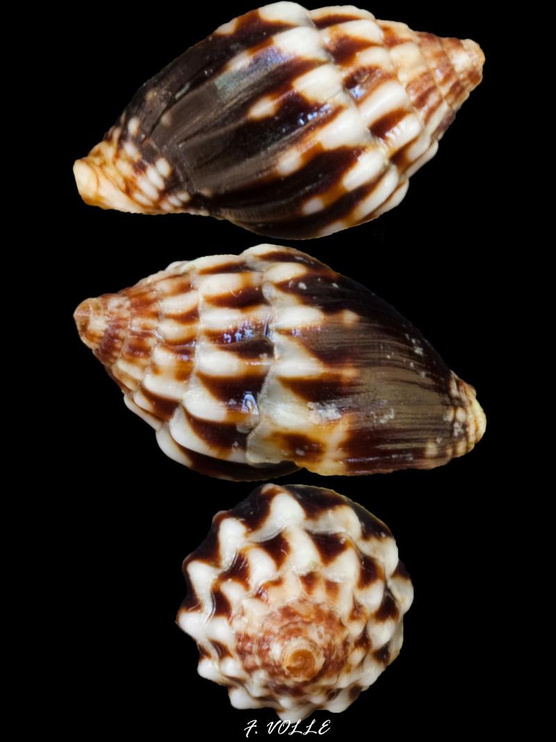 Vexillum gourgueti - Salisbury & Herrmann, 2012 13_8mm10