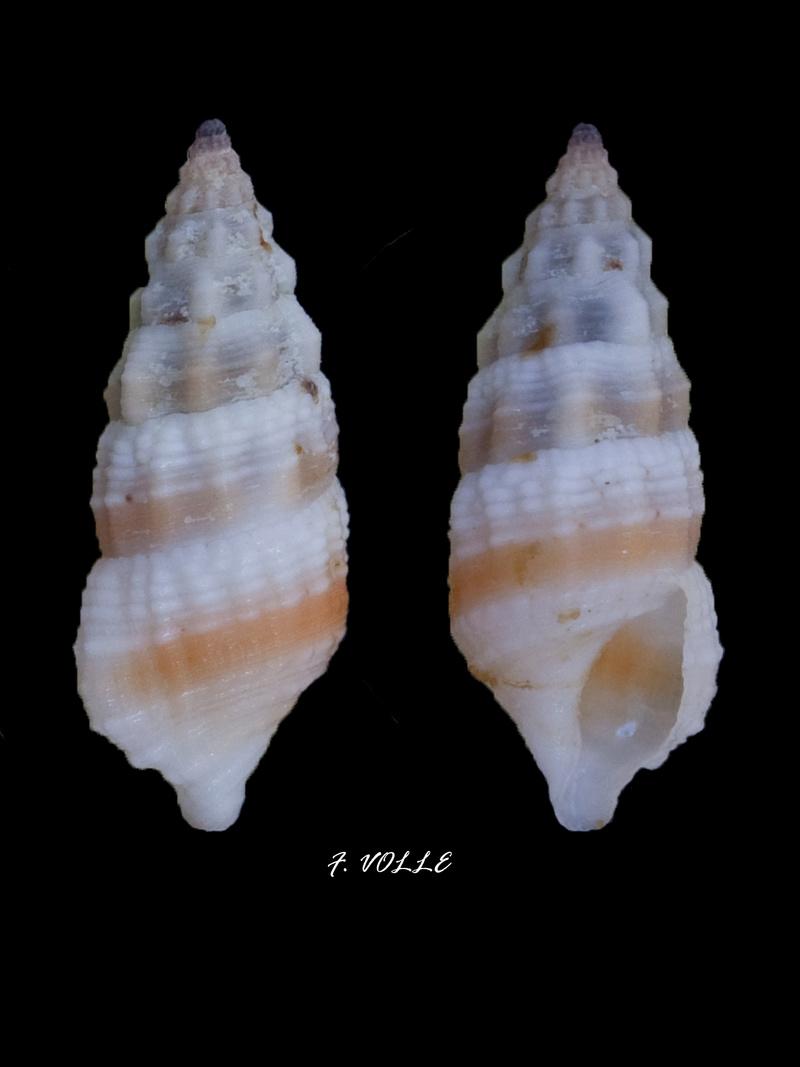 Cerithium columna - G. B. Sowerby I, 1834 13_9mm10