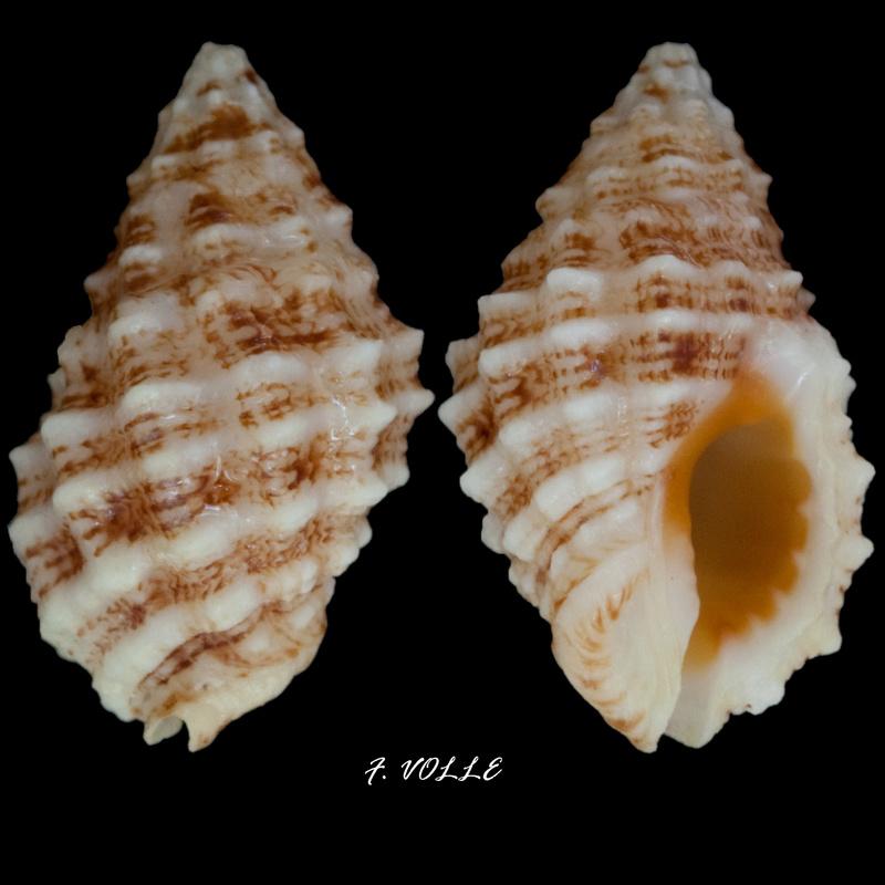 Pascula muricata - (Reeve, 1846) 15_3mm10
