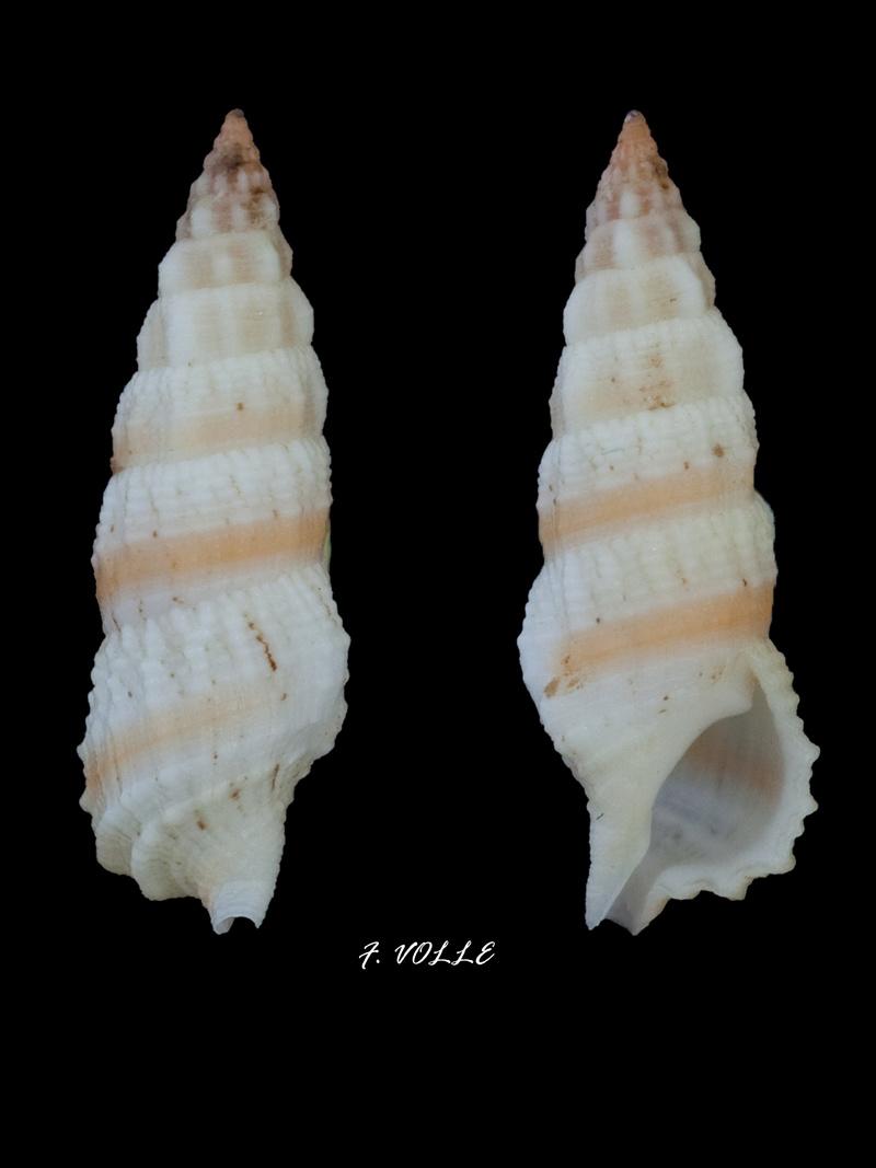 Cerithium columna - G. B. Sowerby I, 1834 19_7mm10