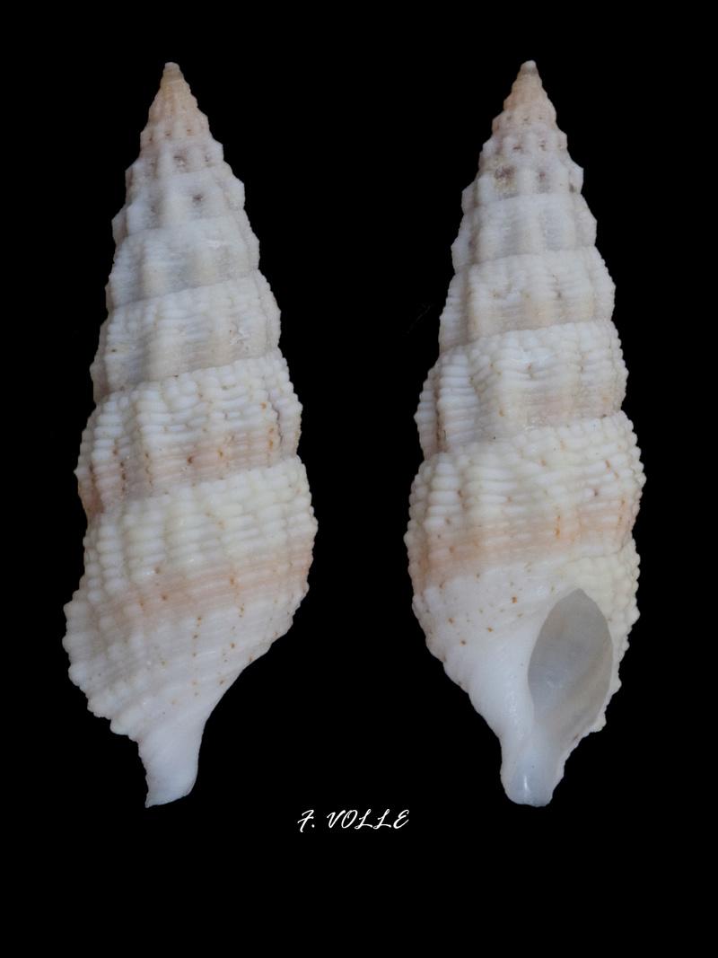 Cerithium columna - G. B. Sowerby I, 1834 22_5mm10
