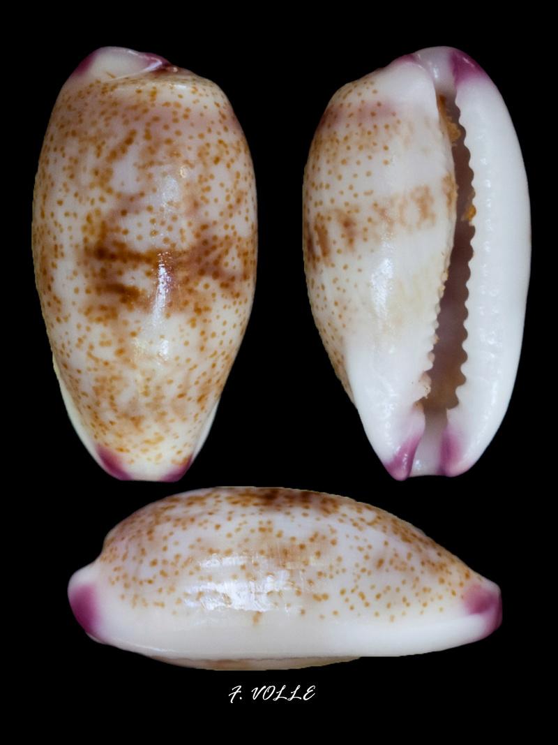 Purpuradusta fimbriata unifasciata - (Mighels, 1845) voir Purpuradusta fimbriata marmorata - (Schröter, 1804) Cyprae10