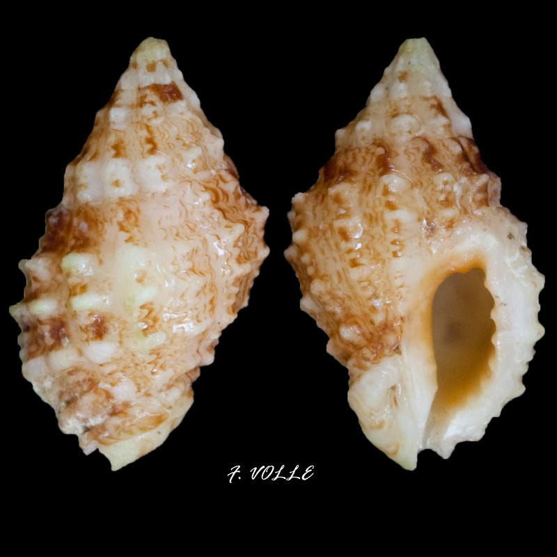 Pascula muricata - (Reeve, 1846) Drupel10