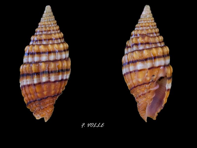 Vexillum unifasciale - (Lamarck, 1811) Vexill11