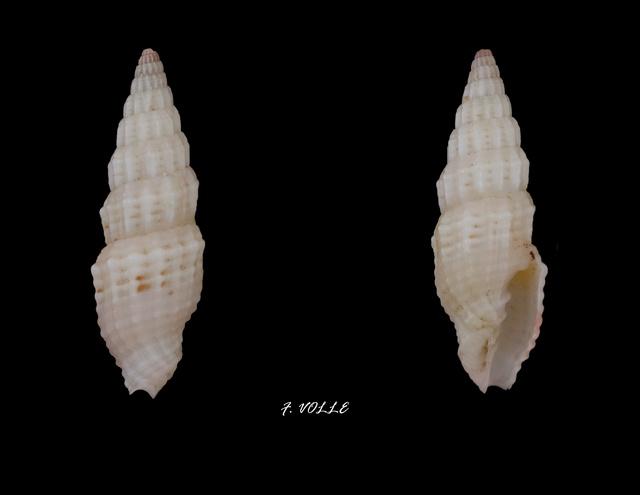 Vexillum modestum - (Reeve, 1845) Vexill14