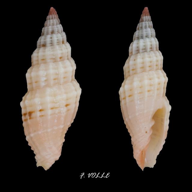 Vexillum modestum - (Reeve, 1845) Vexill15