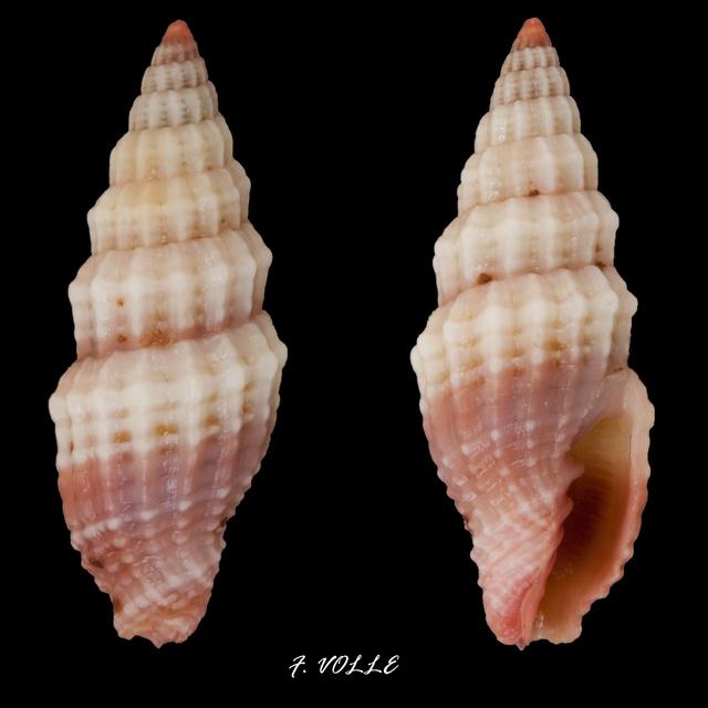 Vexillum modestum - (Reeve, 1845) Vexill16