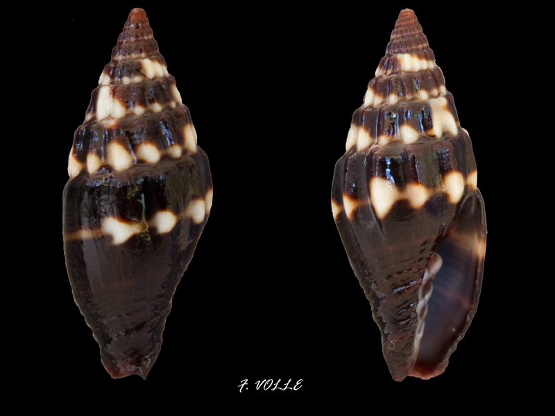 Vexillum geronimae - Poppe, Tagaro & Salisbury, 2009 Vexill17