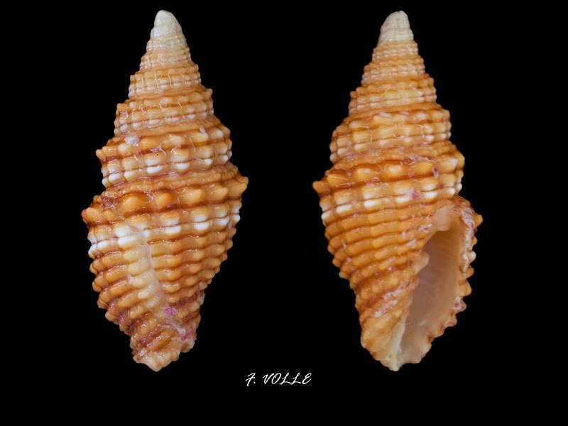 Vexillum crocatum - (Lamarck, 1811) Vexill19