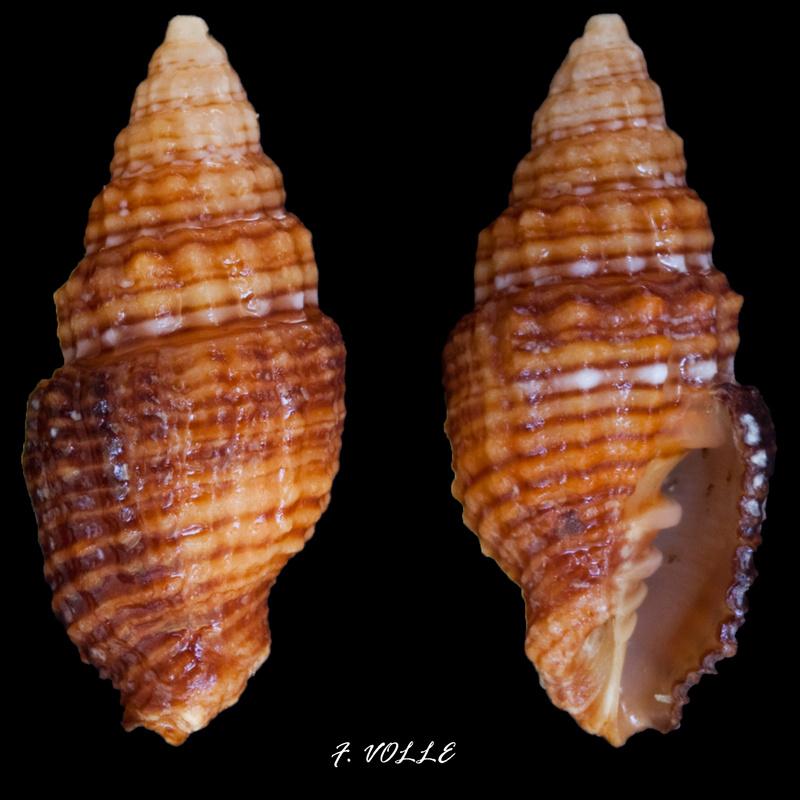 Vexillum crocatum - (Lamarck, 1811) Vexill20