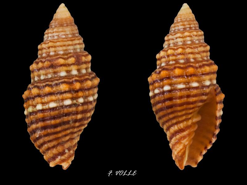 Vexillum crocatum - (Lamarck, 1811) Vexill21