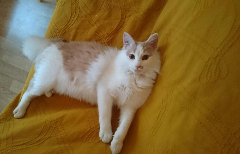 legston - LEGSTON, européen poils mi-longs blanc&roux, né en 2015 Img_2013