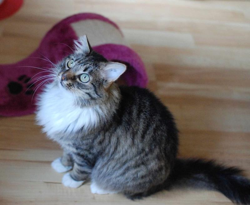 inette - INETTE, chatte européenne tigrée & blanche, poils mi-longs, née en 2013 Inette10