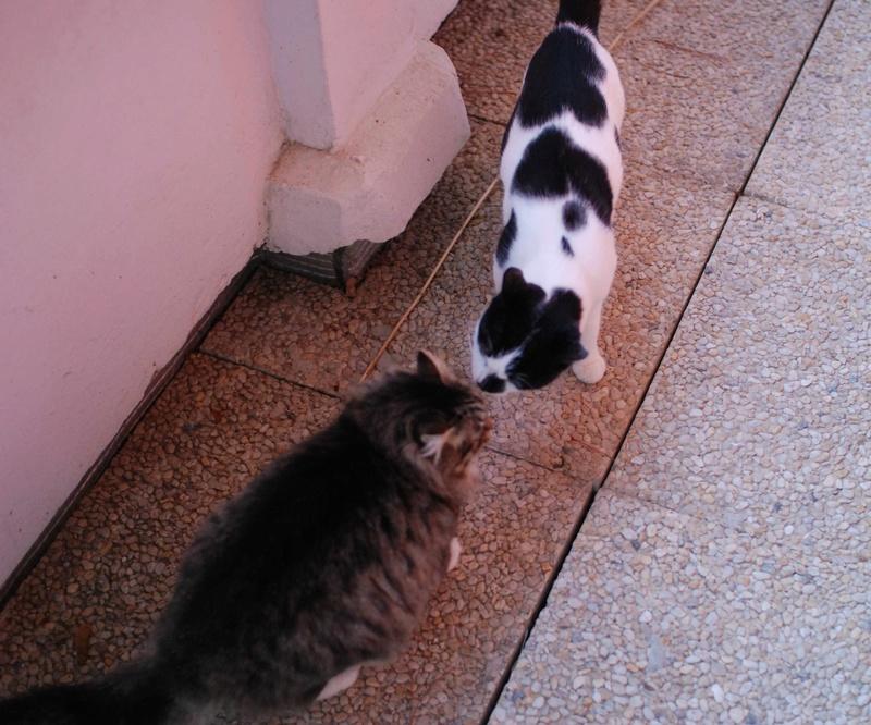 inette - INETTE, chatte européenne tigrée & blanche, poils mi-longs, née en 2013 Inette12