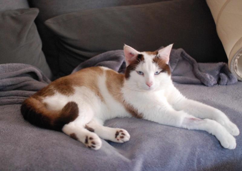 INVICTUS, chat européen marron&blanc, né en 2013, en FA longue durée Invict20