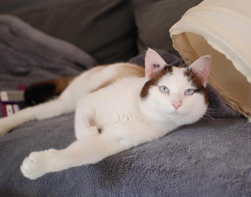INVICTUS, chat européen marron&blanc, né en 2013, en FA longue durée Invict23