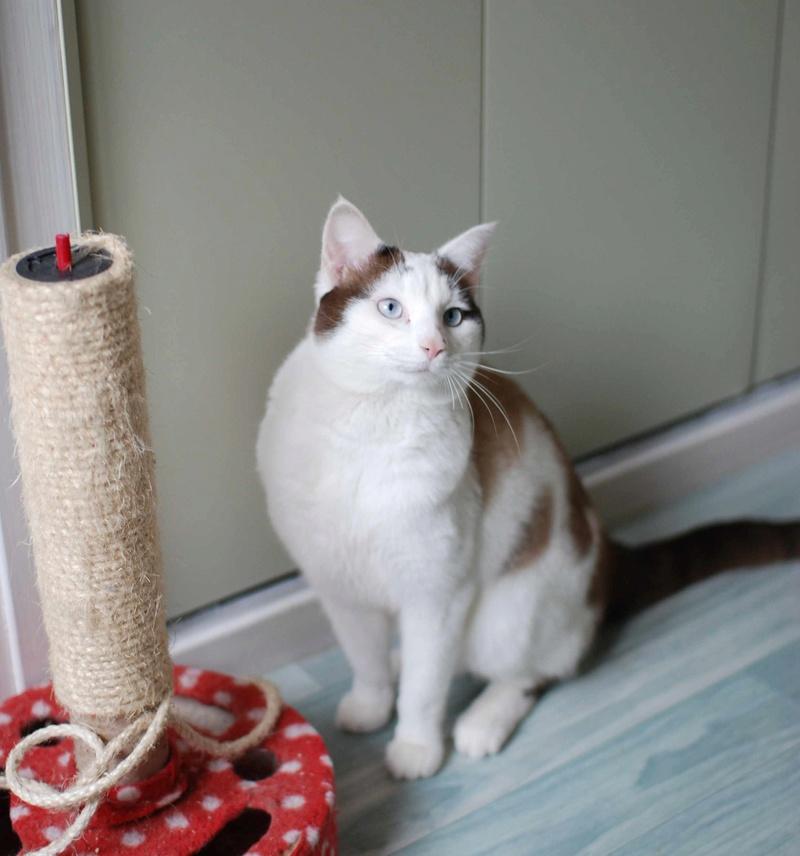 INVICTUS, chat européen marron&blanc, né en 2013, en FA longue durée Invict24