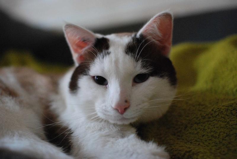 INVICTUS, chat européen marron&blanc, né en 2013, en FA longue durée Invict27