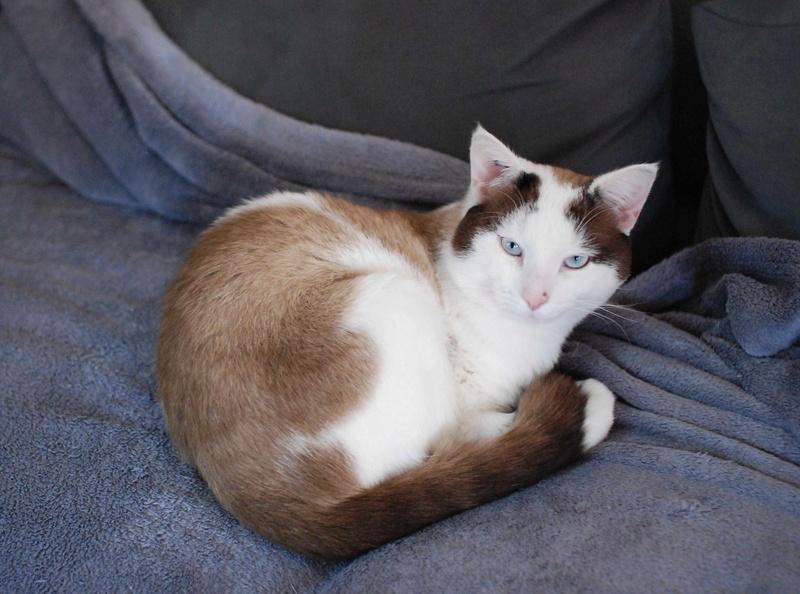 INVICTUS, chat européen marron&blanc, né en 2013, en FA longue durée Invict29