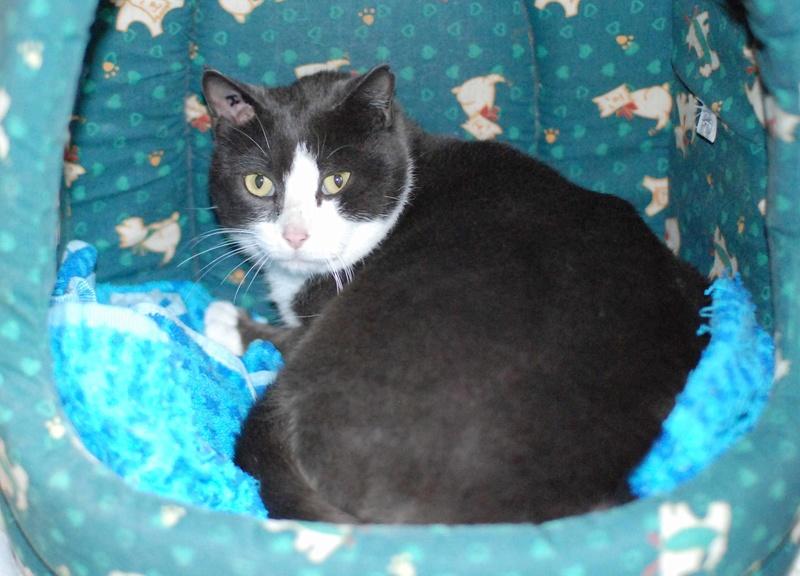 jacadi - JACADI, chat européen gris & blanc, né en déc 2014. Jacadi11