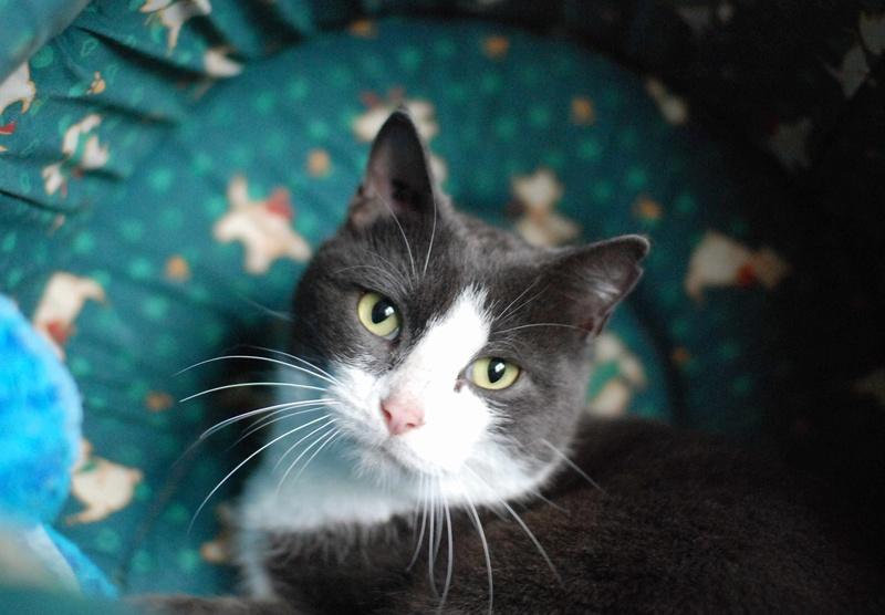 jacadi - JACADI, chat européen gris & blanc, né en déc 2014. Jacadi14