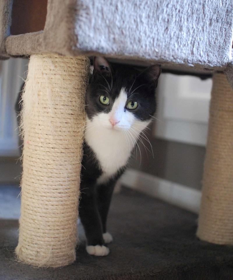 jacadi - JACADI, chat européen gris & blanc, né en déc 2014. Jacadi15