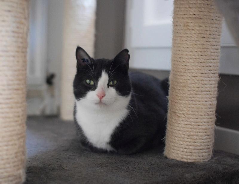 jacadi - JACADI, chat européen gris & blanc, né en déc 2014. Jacadi16