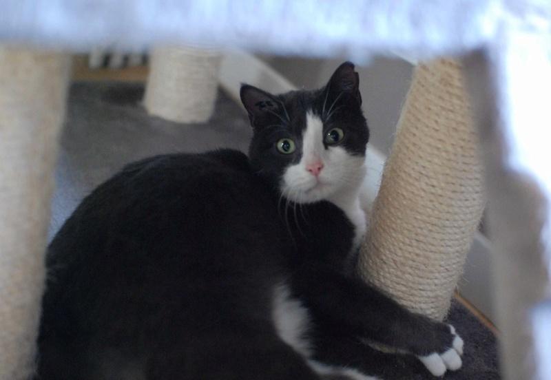 jacadi - JACADI, chat européen gris & blanc, né en déc 2014. Jacadi20