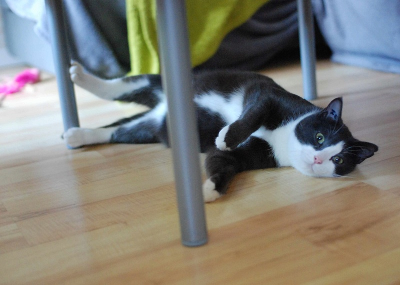 jacadi - JACADI, chat européen gris & blanc, né en déc 2014. Jacadi23