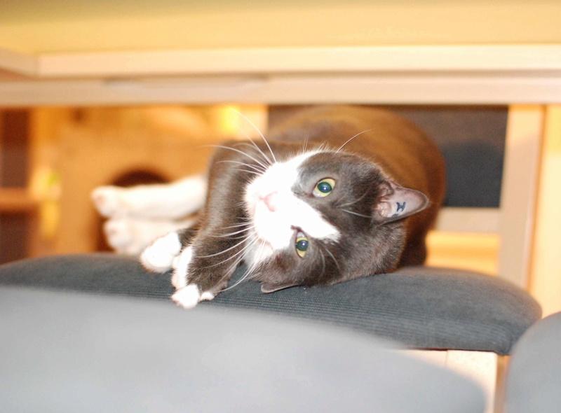 jacadi - JACADI, chat européen gris & blanc, né en déc 2014. Jacadi24