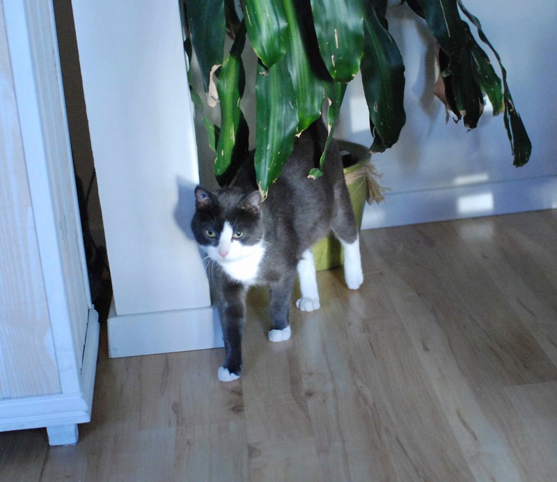 jacadi - JACADI, chat européen gris & blanc, né en déc 2014. Jacadi25