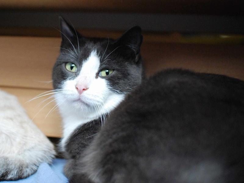 jacadi - JACADI, chat européen gris & blanc, né en déc 2014. Jacadi26