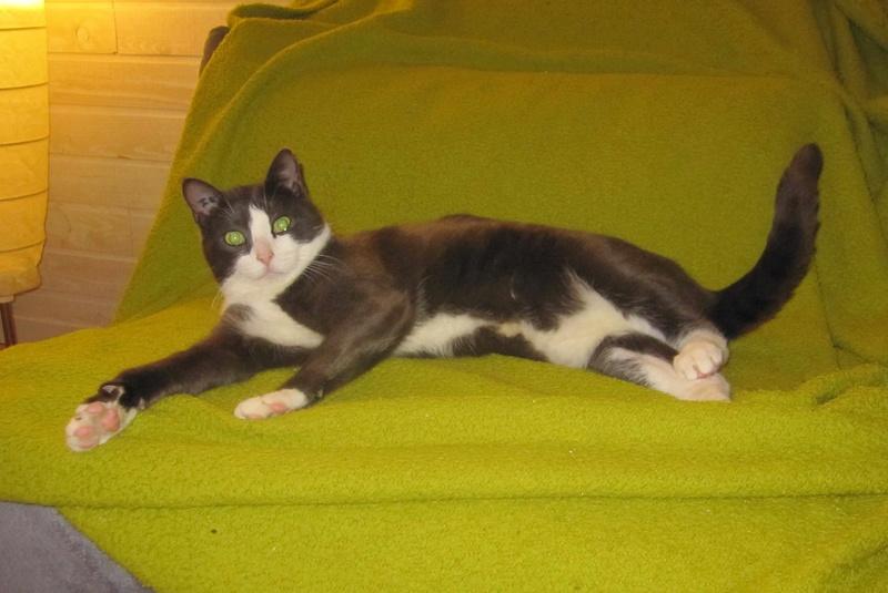 jacadi - JACADI, chat européen gris & blanc, né en déc 2014. Jacadi27