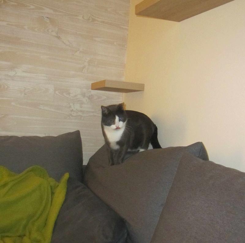 jacadi - JACADI, chat européen gris & blanc, né en déc 2014. Jacadi28