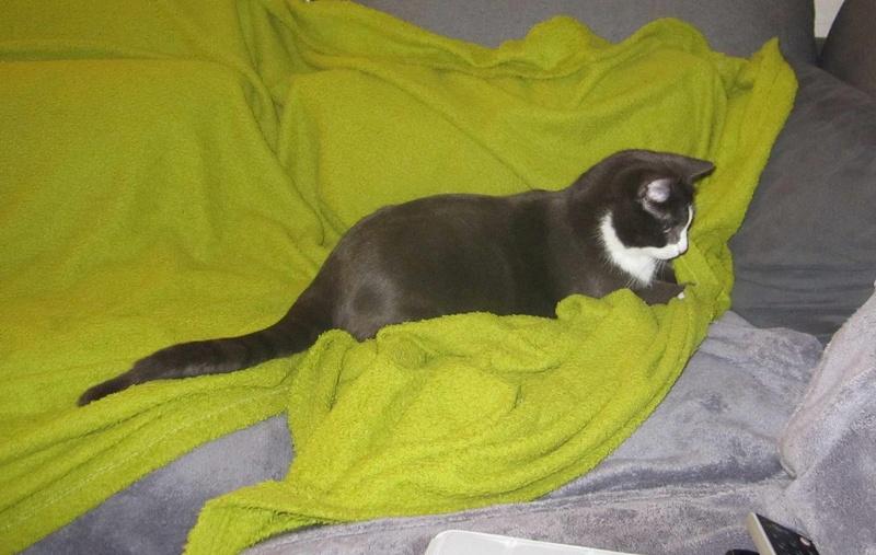 jacadi - JACADI, chat européen gris & blanc, né en déc 2014. Jacadi30