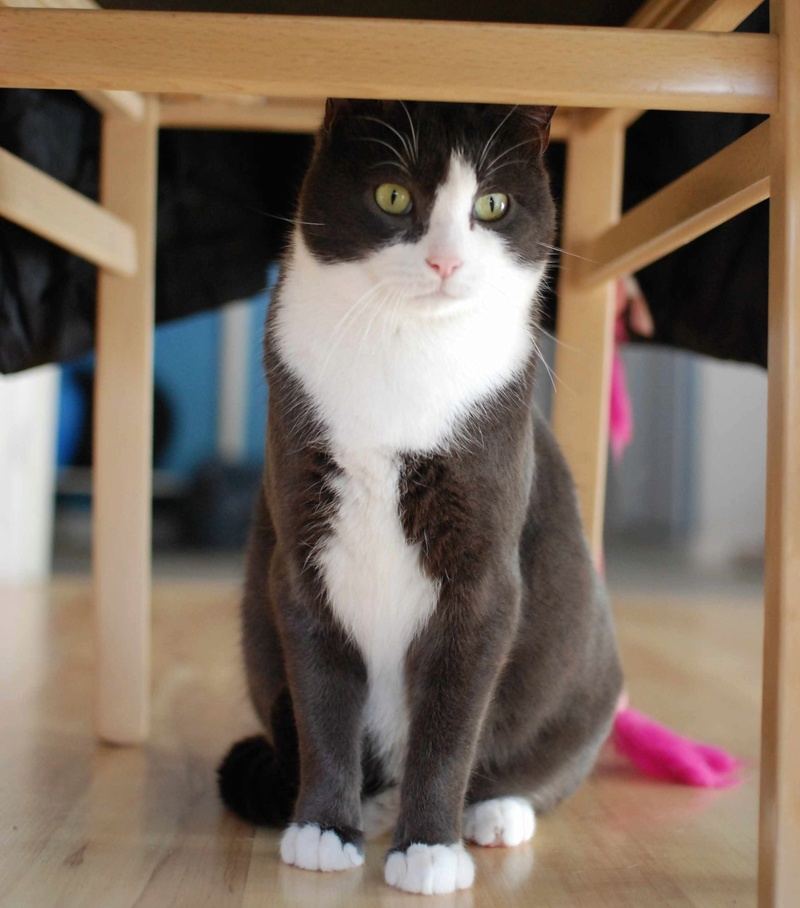 jacadi - JACADI, chat européen gris & blanc, né en déc 2014. Jacadi31