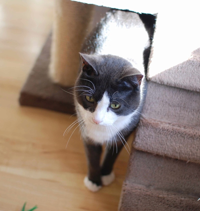 jacadi - JACADI, chat européen gris & blanc, né en déc 2014. Jacadi32